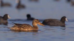 Canard souchet du nord femelle parmi les foulques maroules communes Photo libre de droits