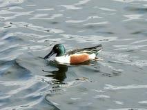 Canard souchet du nord pataugeant dans un lac dans le lac Rockland, NY Photographie stock