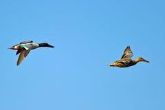 Canard souchet nordique en vol photos libres de droits