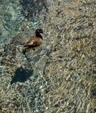 Canard sur Crystal Clear Water images libres de droits