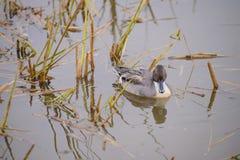 Canard sur l'étang image stock