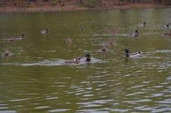 Canard sur l'étang images stock