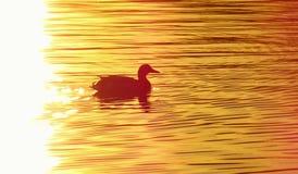 Canard sur l'étang au coucher du soleil Photos stock
