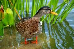 Canard sur l'eau Images stock