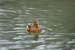 Canard sur l'eau Photo stock