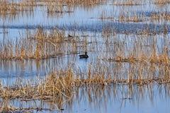 Canard sur l'eau Image libre de droits