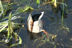Canard sur l'eau 23 Photographie stock