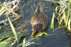 Canard sur l'eau 22 Image stock