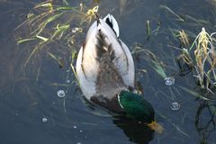 Canard sur l'eau 19 Image stock