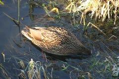 Canard sur l'eau 17 Photographie stock libre de droits