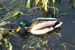 Canard sur l'eau 8 Images libres de droits