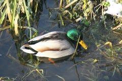 Canard sur l'eau 5 Images libres de droits