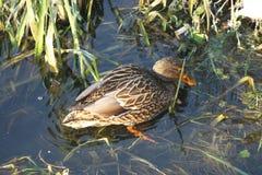Canard sur l'eau 1 Photographie stock