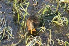 Canard sur l'eau 3 Image libre de droits