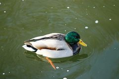 Canard sur l'eau 30 Photos stock