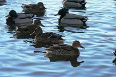Canard sur l'eau 32 Photographie stock libre de droits
