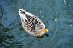 Canard sur l'eau 35 Image libre de droits