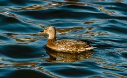 Canard sur l'eau Images libres de droits