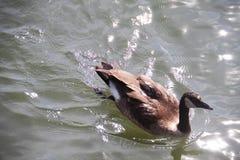 Canard sur l'eau en journée Images libres de droits