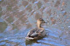 Canard sur l'eau par les cercles de divergence images stock