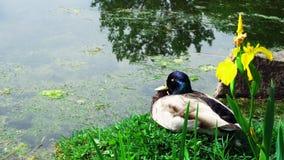Canard sur l'herbe images stock