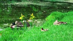Canard sur l'herbe photos libres de droits