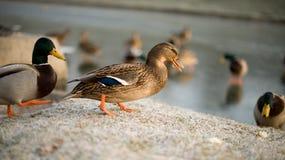 Canard sur l'herbe glacée Image libre de droits