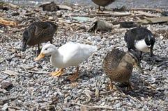 Canard sur la côte Images libres de droits