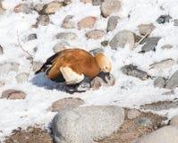 Canard sur la neige en hiver Image stock