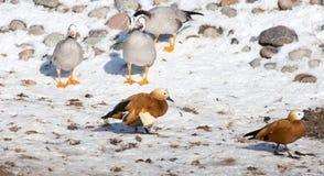 Canard sur la neige en hiver Image libre de droits