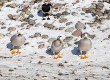 Canard sur la neige en hiver Photos stock