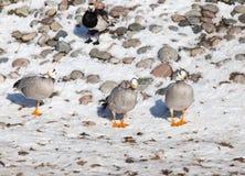 Canard sur la neige en hiver Images stock