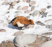 Canard sur la neige en hiver Photos libres de droits