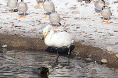 Canard sur la neige en hiver Photographie stock libre de droits