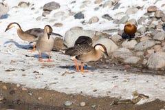Canard sur la neige en hiver Images libres de droits