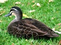 Canard sur la pelouse images stock