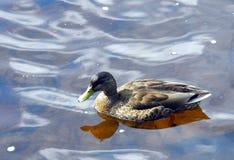 Canard, sur la rivière calme Photo stock