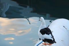 Canard sur le bateau Photo libre de droits