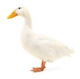Canard sur le blanc Photographie stock libre de droits