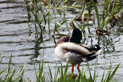 Canard sur le fleuve Photographie stock
