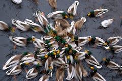 Canard sur le fleuve Photos libres de droits