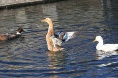 Canard sur le lac images stock