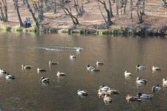 Canard sur le lac Image libre de droits