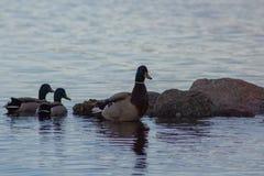 Canard sur le lac, canards photographie stock libre de droits