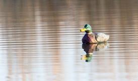 Canard sur le lac dans la nature image stock