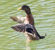 Canard sur le lac dans la nature photographie stock