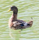 Canard sur le lac dans la nature images stock