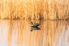Canard sur le lac dans la nature photos stock