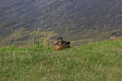 Canard sur le rivage de lac Photo libre de droits