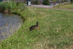 Canard sur le rivage de lac Images libres de droits